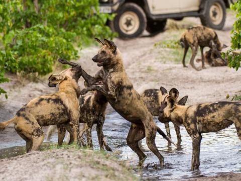 Painted Dog Encounter, 12-daagse fly-in safari Zimbabwe