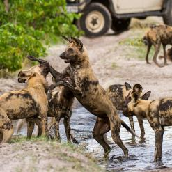 Painted Dog Encounter, 12-daagse fly-in safari Zimbabwe